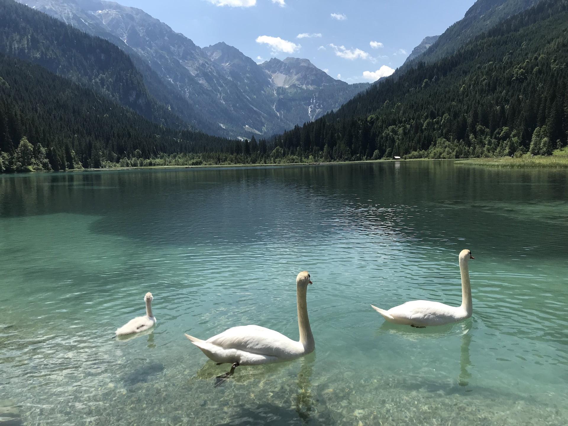 Svaner i Østrig